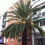 Se nos encomienda la poda de tres palmeras de gran envergadura que afectan a la fachada de las viviendas molestando a los vecinos.